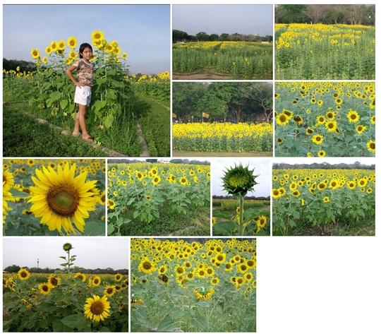 Buddhamontol_Sunflowers_20130126